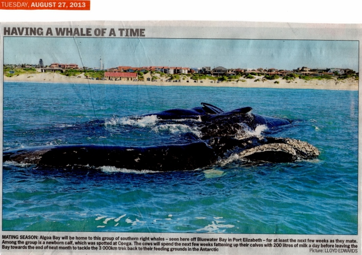 Whales Mating in Algoa Bay