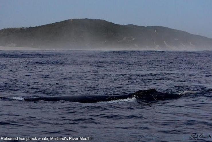 Humpback whale freed and slowly swimming away