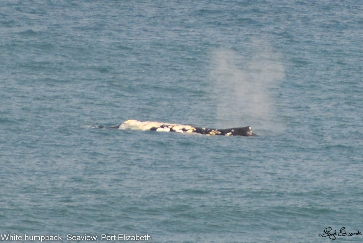 White Humpback whale spotted off Port Elizabeth